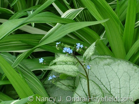 'Looking Glass' Siberian bugloss (Brunnera macrophylla) with variegated tawny daylily (Hemerocallis fulva 'Variegated Kwanso') at Hayefield