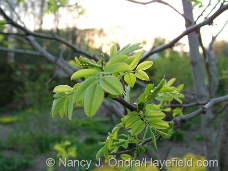 Robinia pseudoacacia 'Frisia' at Hayefield