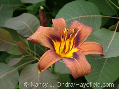Hemerocallis 'Milk Chocolate' at Hayefield