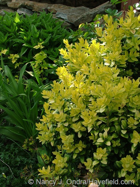 'Latifolia Maculata' boxwood (Buxus sempervirens) at Hayefield