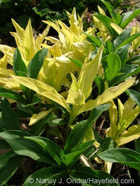 Solid yellow sport of Saponaria officinalis 'Variegata' at Hayefield