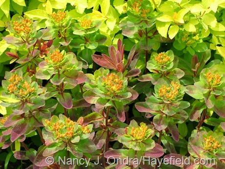 Euphorbia polychroma 'Bonfire' at Hayefield