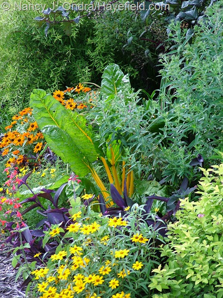 Chard 'Orange Fantasia' with Zinnia angustifolia, Z. 'Profusion Orange', and Setcreasea (Tradescantia) pallida at Hayefield