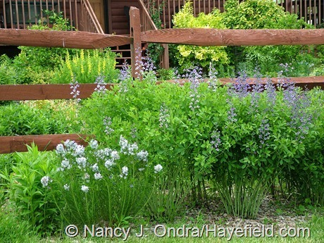 Amsonia hubrichtii and Baptisia 'Purple Smoke' at Hayefield (mid-May 2010)