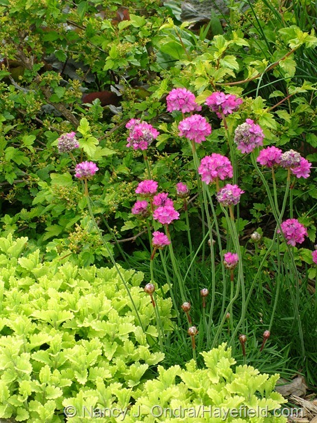 sea thrift (Armeria maritima) with 'Summer Sunshine' germander (Teucrium chamaedrys) and golden-leaved currant (Ribes alpinum 'Aureum') at Hayefield