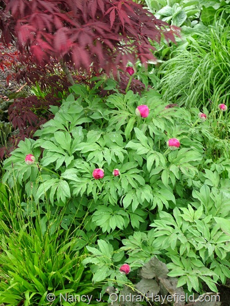 Carex plantaginea with Paeonia mollis at Hayefield