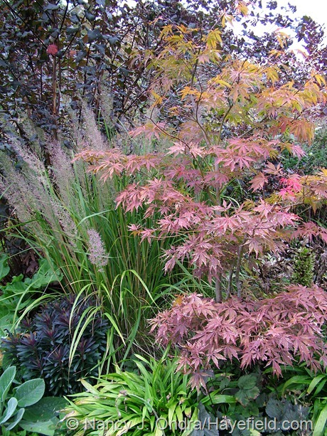 Carex plantaginea under Acer palmatum at Hayefield