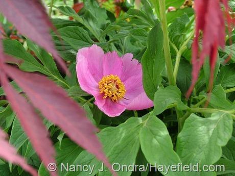 Paeonia mollis at Hayefield