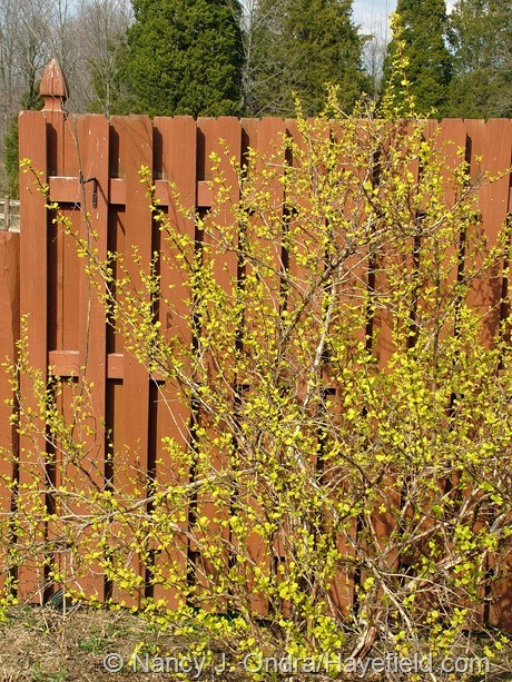 Physocarpus opulifolius 'Dart's Gold' seedling at Hayefield