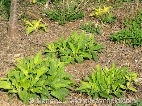 Symphytum 'Belsay Gold' seedlings at Hayefield