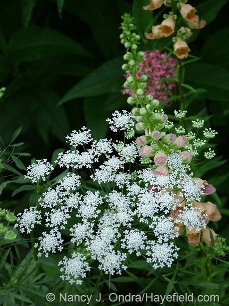 Ammi majus with Digitalis ferruginea at Hayefield