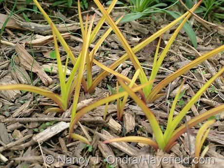 'Sweet Kate' spiderwort (Tradescantia) at Hayefield