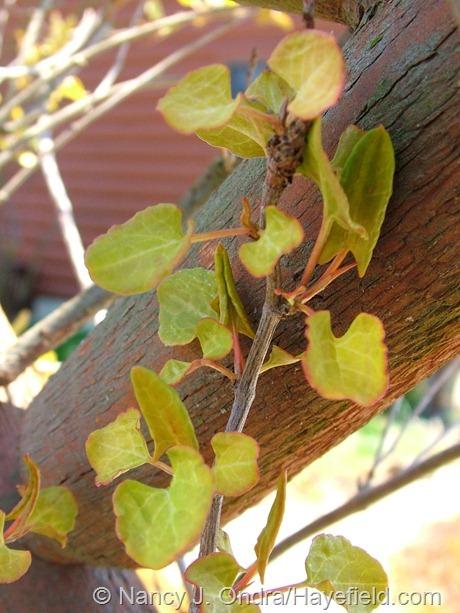 Fallopia baldschuanica 'Lemon Lace' at Hayefield