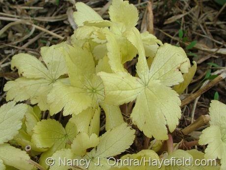 Seedling of Astrantia 'Sunningdale Variegated' at Hayefield
