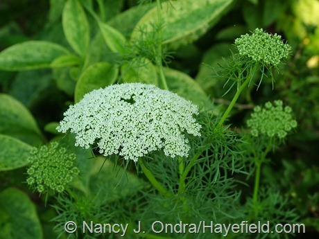 Ammi visnaga at Hayefield