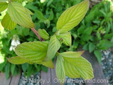 Cornus sericea subsp. occidentalis 'Sunshine' at Hayefield