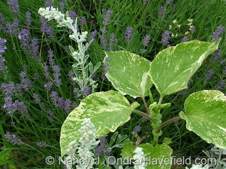 Persicaria orientalis 'Shiro-gane Nishiki' (Polygonum orientale 'Variegata') with beach wormwood (Artemisia stelleriana) and English lavender (Lavandula angustifolia) at Hayefield