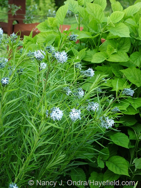 Amsonia hybrid at Hayefield