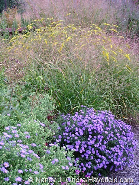 Panicum virgatum 'Rotstrahlbusch' with Symphyotrichum 'Sapphire' and S. oblongifolium and Solidago 'Fireworks' at Hayefield