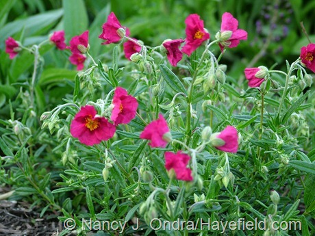 Helianthemum 'Hartswood Ruby' at Hayefield
