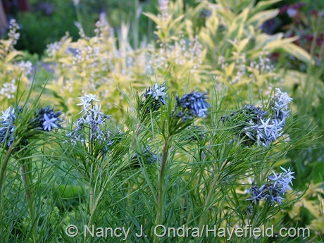 Amsonia hubrichtii at Hayefield