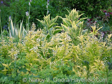 Deutzia gracilis 'Duncan' (Chardonnay Pearls) at Hayefield