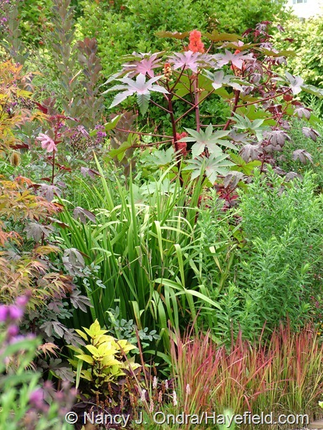 Ricinus communis 'Carmencita' with Iris 'Gerald Darby' and Imperata cylindrica 'Rubra' at Hayefield