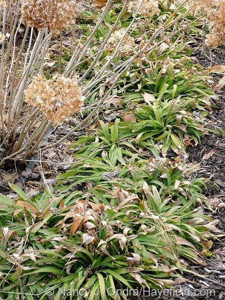 Carex plantaginea at Hayefield