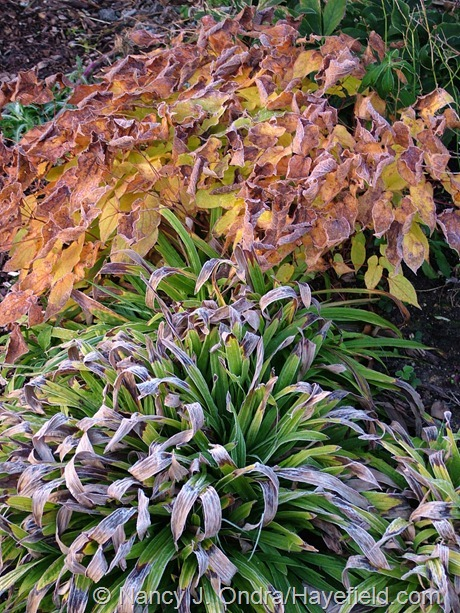 Carex plantaginea with Epimedium at Hayefield