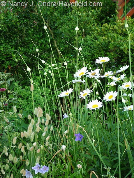 Garlic scapes with Leucanthemum 'Becky' and Lagurus ovatus at Hayefield