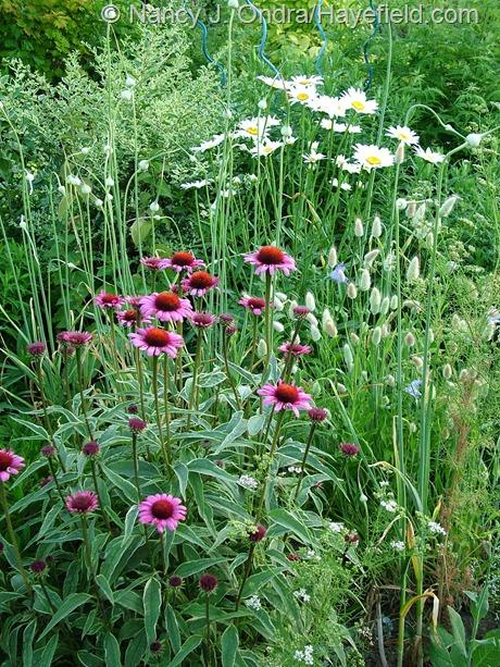 Echinacea purpurea 'Prairie Frost' at Hayefield