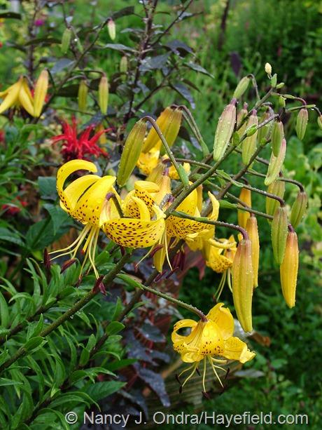 Lilium leichtlinii at Hayefield