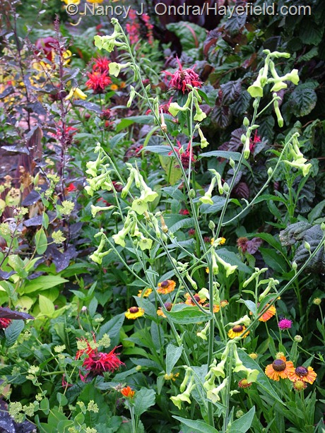 Nicotiana 'Ondra's Green Mix' at Hayefield