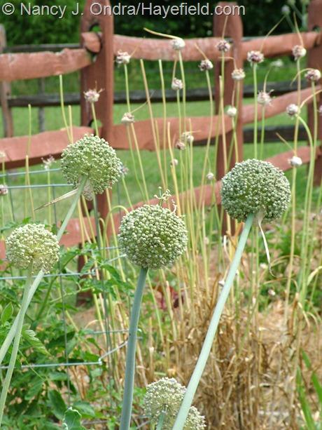 Allium ampeloprasum (leeks) in bloom at Hayefield