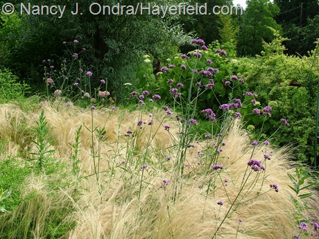 Stipa tenuissima with Verbena bonariensis at Hayefield