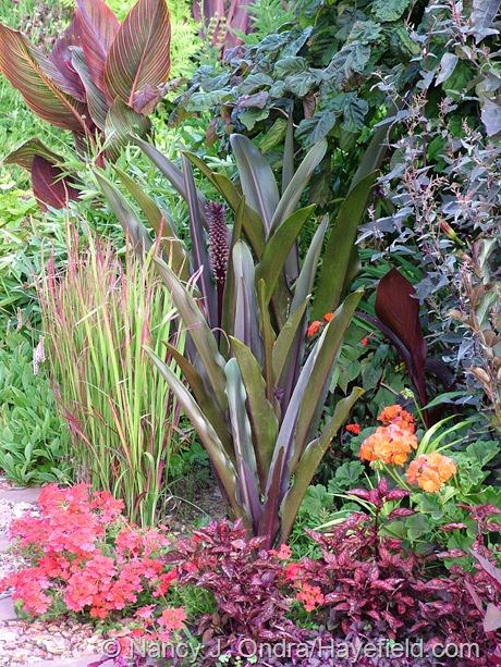 Eucomis comosa 'Oakhurst' with Imperata cylindrica 'Rubra', Canna 'Phaison' (Tropicanna), Corylus avellana 'Red Majestic', Atriplex hortensis 'Rubra', Canna 'Australia', Pelargonium 'Dark Velvet Red', Hypoestes 'Red Splash Select', and Verbena 'Oxena' (Babylon Red) at Hayefield