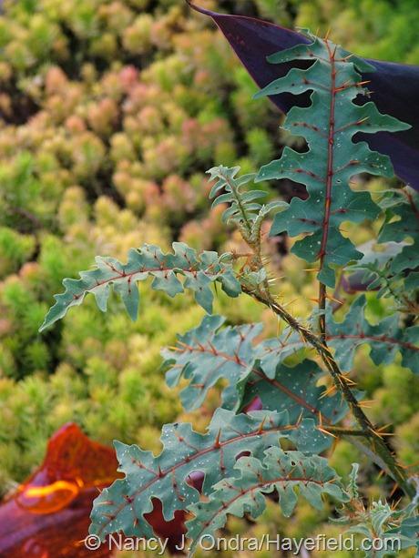 Solanum pyracanthum at Hayefield