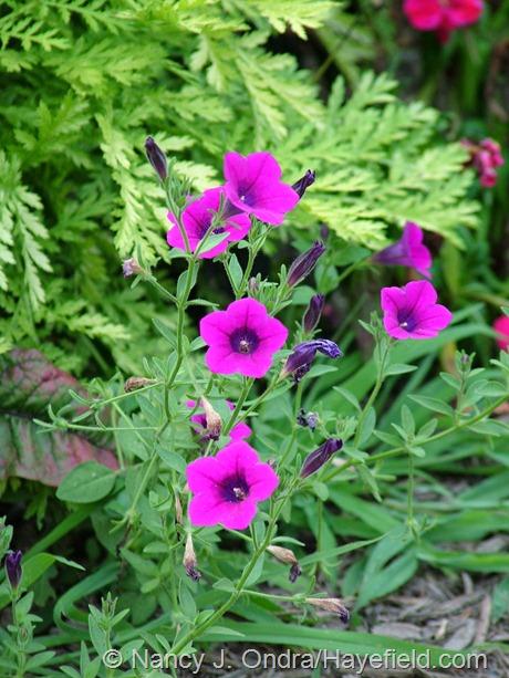 Petunia integrifolia at Hayefield