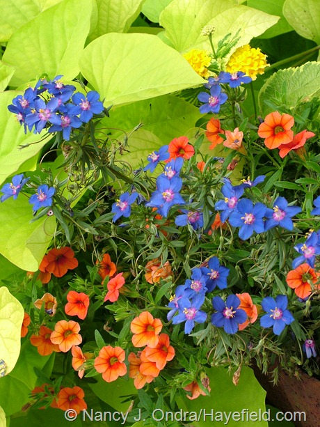 Ipomoea batatas 'Sweet Georgia Heart Light Green'  with Anagallis monelli, Lantana camara 'Samantha', and Calibrachoa 'Noa Tangerine' at Hayefield
