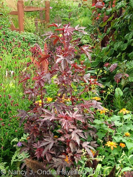 Hibiscus acetosella 'Mahogany Splendor' at Hayefield