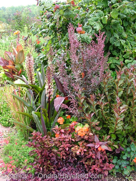 'Red Majestic' contorted hazel (Corylus avellana), red orach (Atriplex hortensis var. rubra), Fine Wine weigela (Weigela florida 'Bramwell'), 'Black Velvet Red' geranium (Pelargonium x hortorum), 'Red Splash Select' polka-dot plant (Hypoestes phyllostachya), Babylon Red verbena (Verbena 'Oxena'), Japanese blood grass (Imperata cylindrica 'Rubra'), 'Oakhurst' pineapple lily (Eucomis comosa), and Tropicanna canna (Canna 'Phaison') at Hayefield