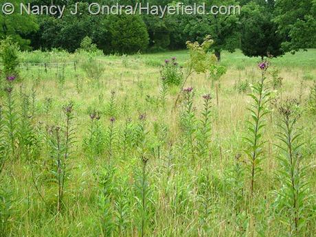 Vernonia noveboracensis at Hayefield