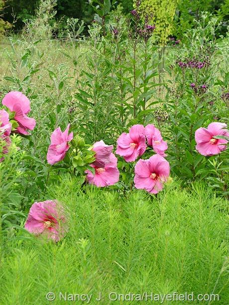 Hibiscus 'Plum Crazy' at Hayefield