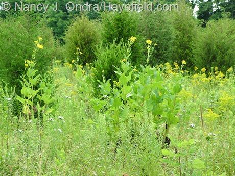 Silphium perfoliatum at Hayefield