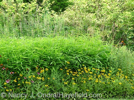 Rudbeckia fulgida with (Spodiopogon sibiricus) and golden elderberry (Sambucus nigra 'Aurea') at Hayefield