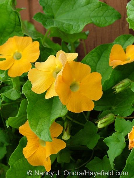 Thunbergia alata 'Susie Clear-Eyed Orange' at Hayefield