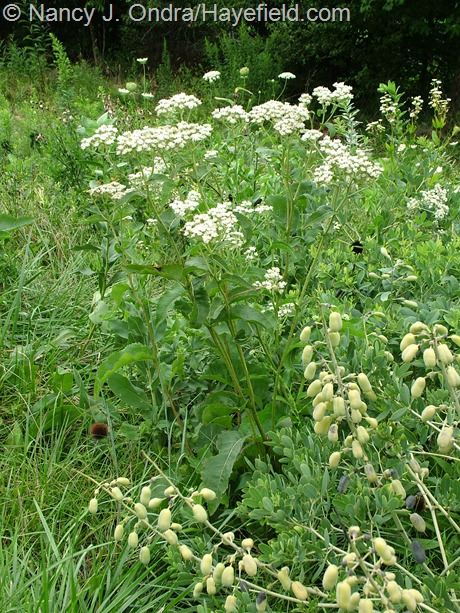 Parthenium integrifolium and Baptisia alba at Hayefield