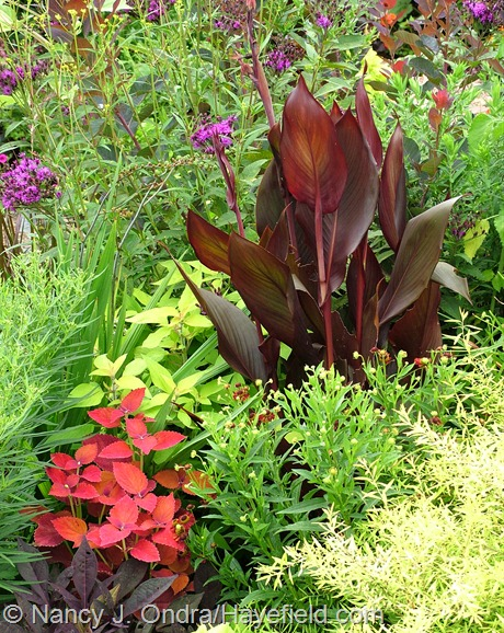 Canna 'Australia' with 'Ruby Tuesday' sneezeweed (Helenium), Mellow Yellow spirea (Spiraea thunbergii 'Ogon'), 'Sweet Caroline Purple' sweet potato vine (Ipomoea batatas), 'Sedona' coleus, 'Golden Delicious' pineapple sage (Salvia), and ironweed (Vernonia) at Hayefield