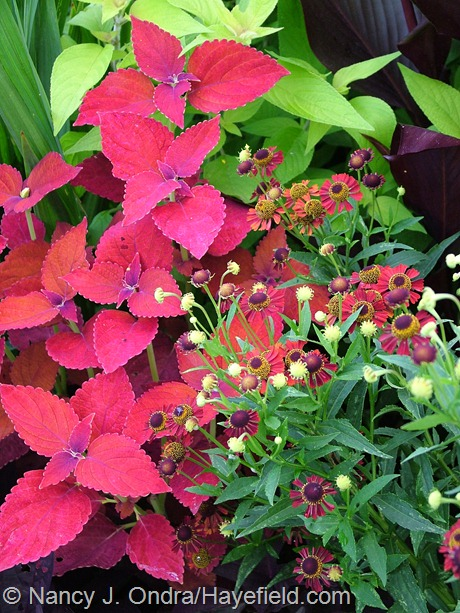 Helenium 'Ruby Tuesday' with Coleus 'Sedona' at Hayefield