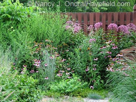 Eutrochium/Eupatorium purpureum and Echinacea purpurea at Hayefield